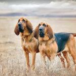 Породы собак: Бладхаунд
