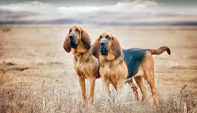 Бладхаунды массивные и мощные собаки