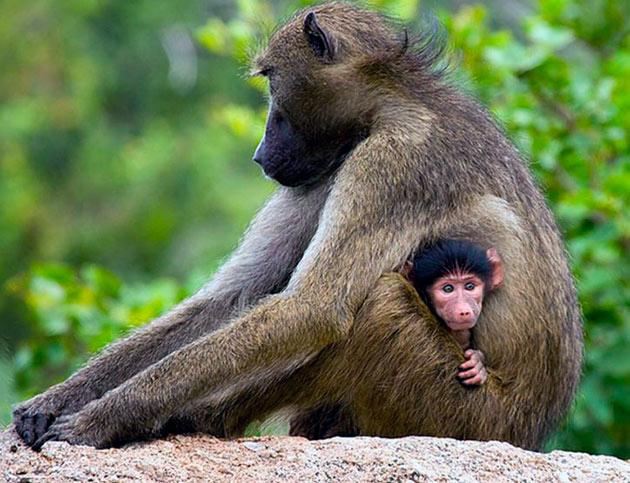 Самцы павиана, помогают самкам выращивать детенышей