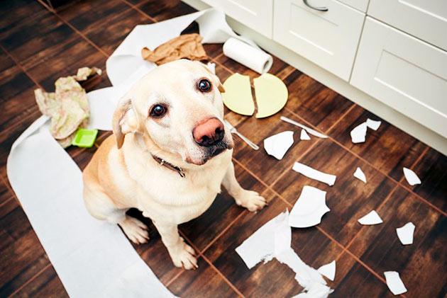 Различные плохие привычки у собаки, зачастую зависят от её характера