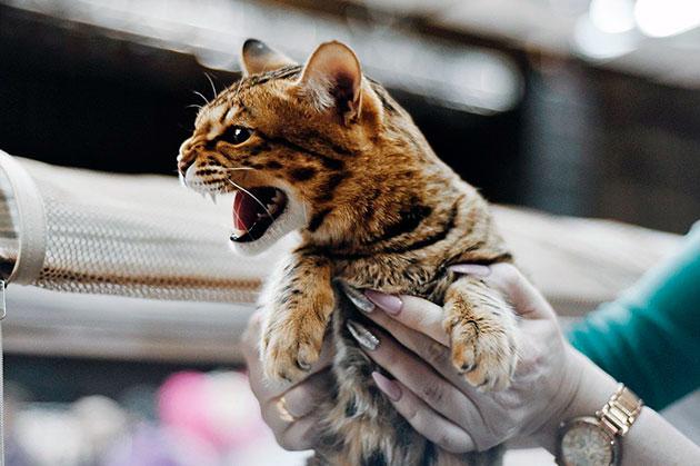 Кошки являются ярыми собственниками и очень отчаянно могут защищать свои владения