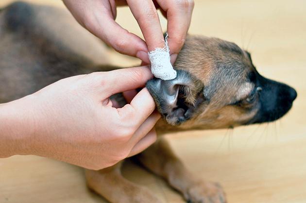 Если вы обнаружили воспаление уха (отита) у собаки, первое что необходимо сделать - обратиться к ветеринару