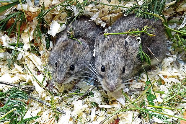 Полевые мыши очень плодовитые животные и поэтому угроза исчезновения им не грозит