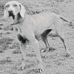 Породы собак – Веймарская легавая