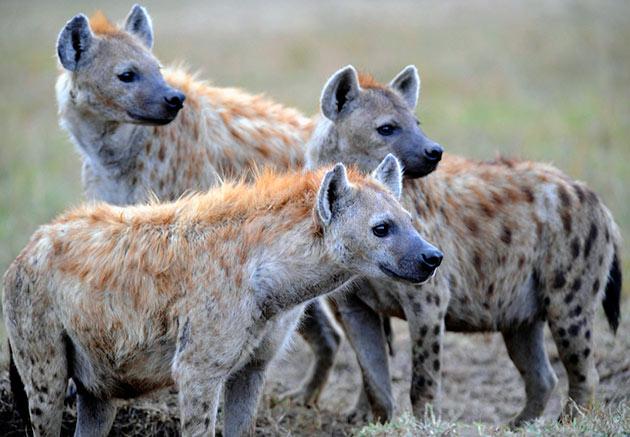 Пятнистые гиены живут в стаях от нескольких десятков, до сотни голов