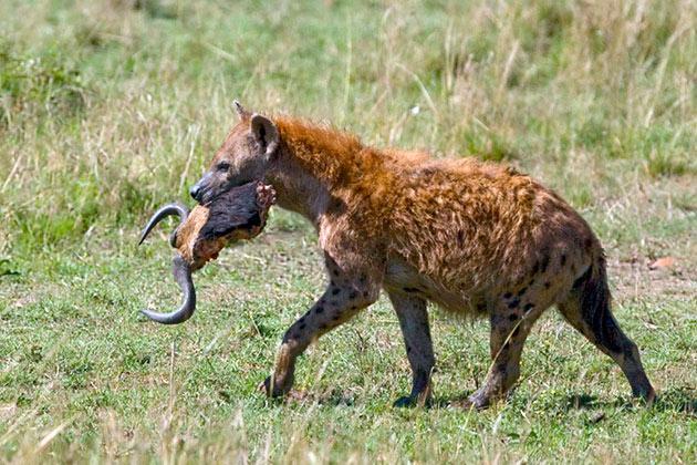 Пятнистая гиена предпочитает животную пищу, а основным блюдом является мясо