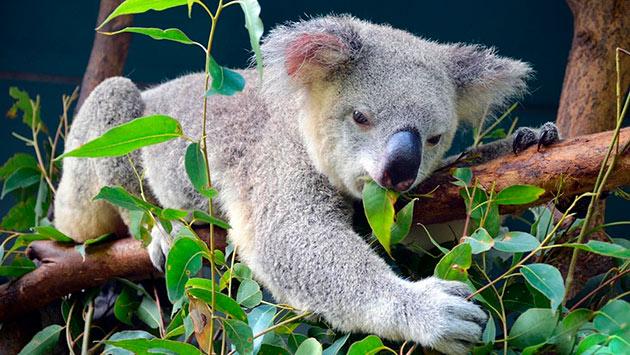Молодые побеги и эвкалипта — основной рацион питания коал