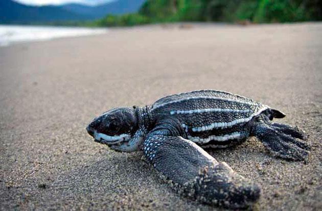 Полового созревания кожистая черепаха достигает в 1-3 года