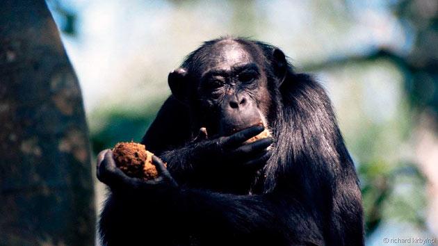 Шимпанзе непривередливы к еде и относятся к всеядным животным