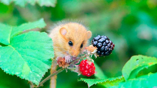 Орешниковая соня любят растительную пищу и относятся к заядлым вегетарианцам