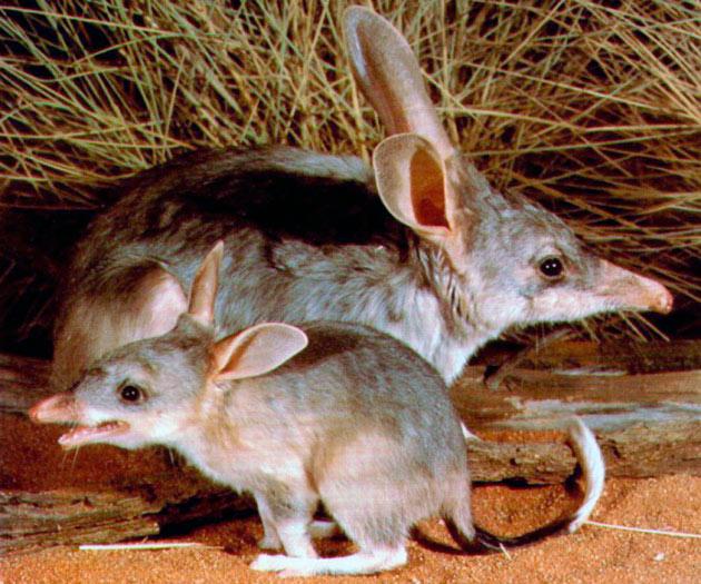 Самка бандикута может родить от 2 до 5 детенышей
