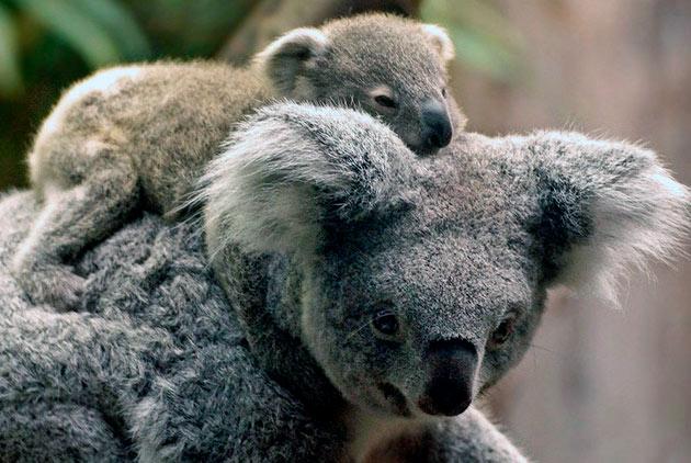 Чаще всего у коал рождаются самки