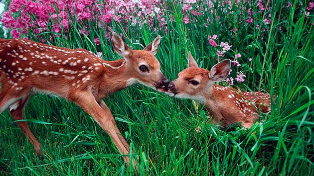В первые дни детеныши пятнистых оленей очень слабы и почти все время лежат