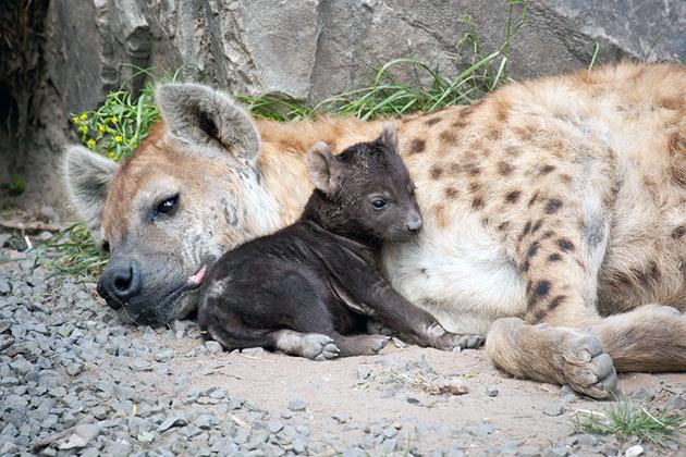 Самка пятнистой гиены вынашивает детенышей 4 месяца