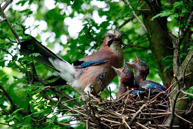 Сойка делает гнездо для своего будущего потомства, на высоте 5 метров