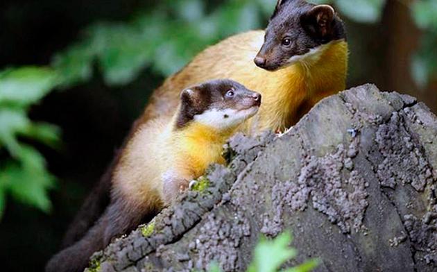 За воспитанием детенышей желтогрудой куницы отвечает исключительно самка
