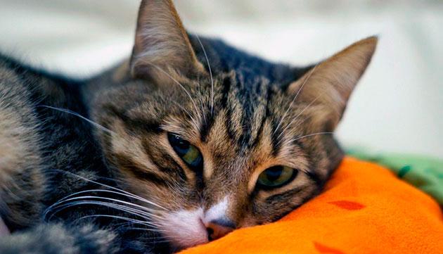 Очень часто рвота у кошки является признаком отравления