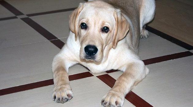 По статистике собаки женского пола более подвержены диабету, чем кобели