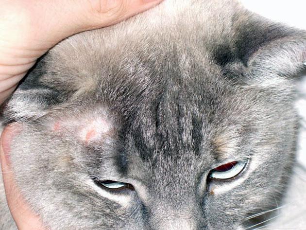 Симптомы лишая у кошки напрямую зависят от его вида