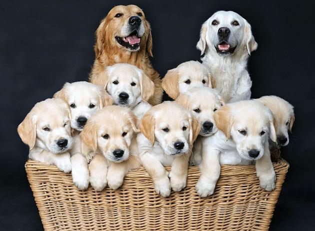 Собак для большой семьи стоит выбирать с мягким и более покладистым характером