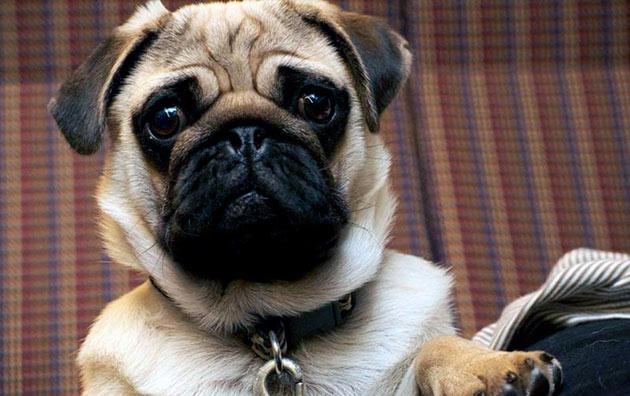 Выбирать собаку для содержания в квартире необходимо, исходя из размеров самой квартиры