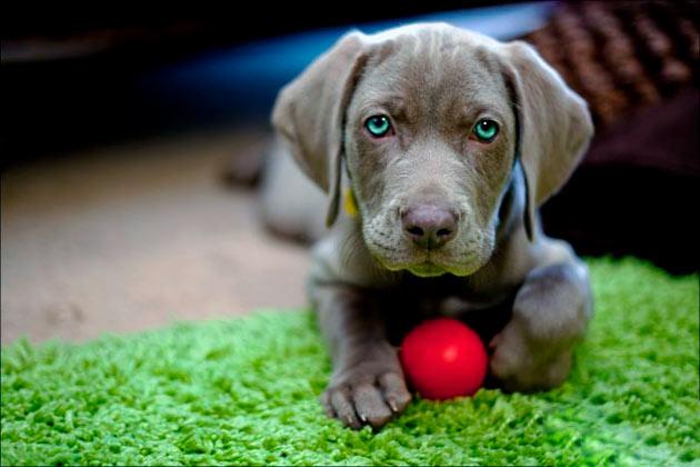 Собак породы веймаранер необходимо осматривать на наличие клещей после каждой прогулки