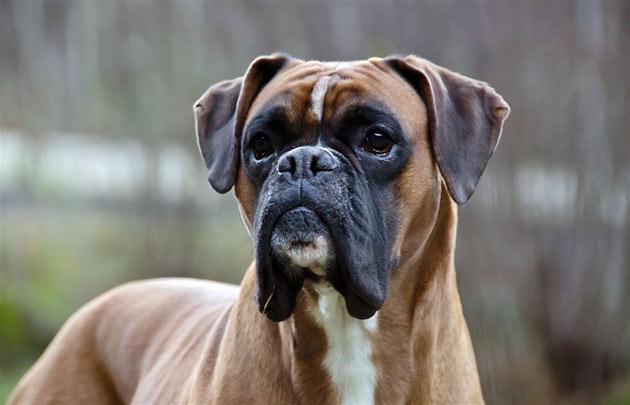Собаки средних размеров прекрасно уживаются в условиях проживания в квартире