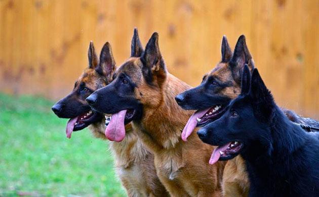 Овчарки — наиболее популярная порода сторожевых собак