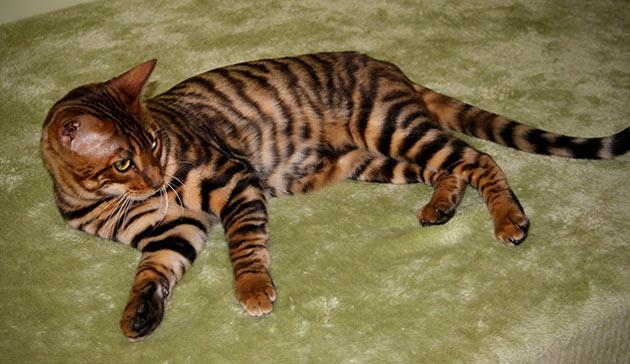 Типовой рисунок тигровый табби характеризуется переходом цвета от области спины в сторону живота с четким, выраженным контрастом.