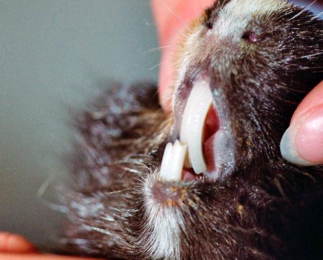 Потеря веса один из признаков, что с зубками у морской свинки, не все в порядке