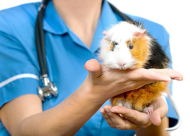 При выхаживание после лечения зубов морской свинки придерживайтесь всех рекомендаций ветеринара