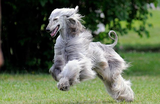 Афганская борзая - активная, ловкая и энергичная собака
