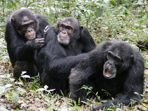 Шимпанзе относится к социальным животным и проживают группами