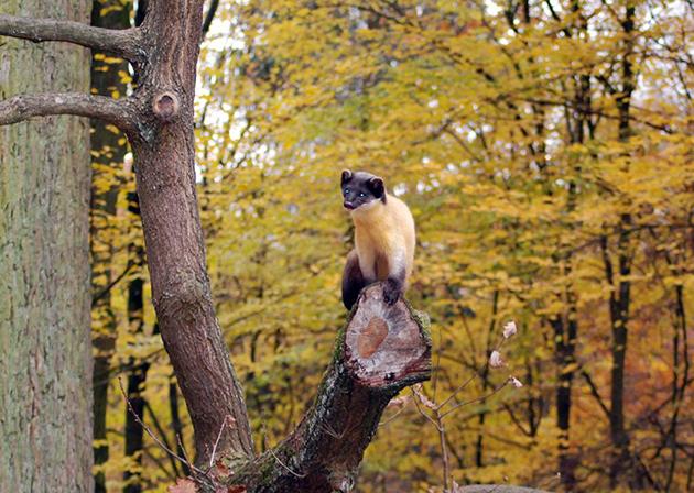 Ареал обитания харзы очень широк и она встречается во многих местах