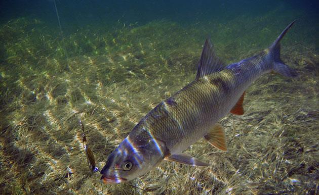 Основной причиной малой популяции жереха — очень большой вылов данной рыбы