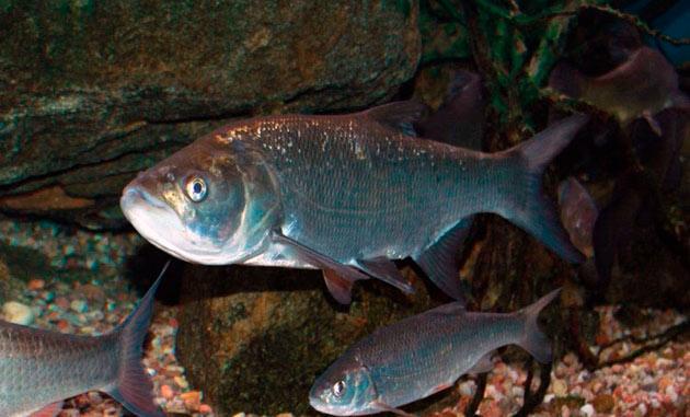 Жерех относиться к хищным рыбам