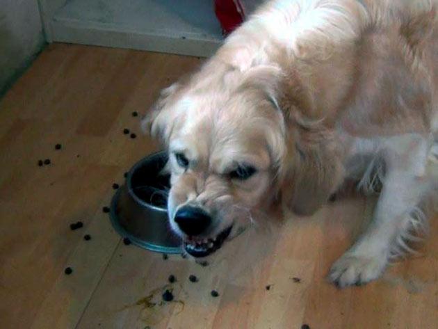 Агрессия собственника у собаки возникает при посягательство на его имещуство