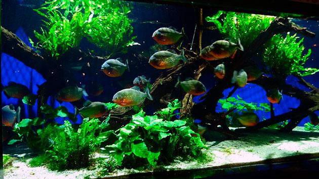 Аквариум для пираньи должен быть основательным, так как данная рыба живет до 10 лет