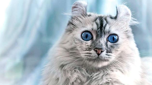 Рейтинг самых дорогих пород кошек: Американский кёрл