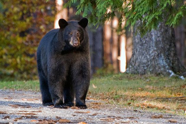 Родиной черного медведя принято считать Северную Америку