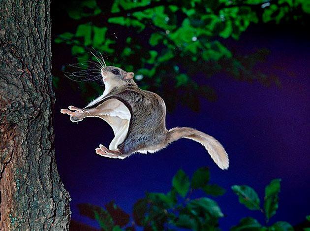 Белки летяги ведут сумрачный и ночной образ жизни, большую часть проводя на деревьях