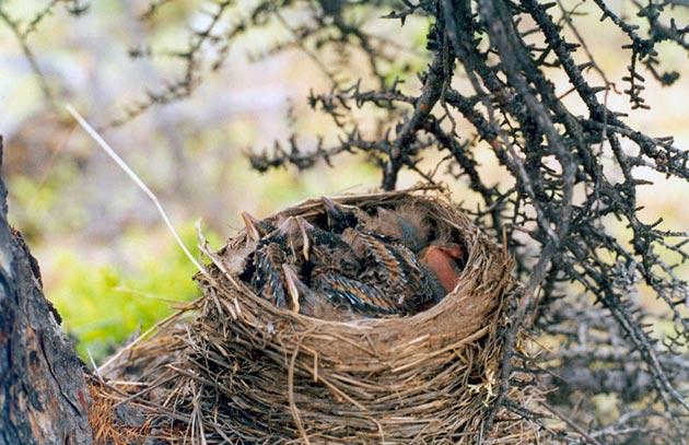 Гнездиться белобровик начинает в самом начале лета