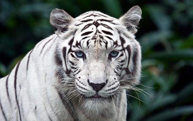 Самыми эффектными и запоминающимися бенгальскими тиграми, с белой шерстью