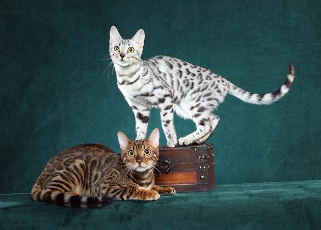 Рейтинг самых дорогих пород кошек: Бенгальская кошка