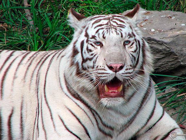 На бенгальских тигров, в пироде никакие животные специально не охотятся
