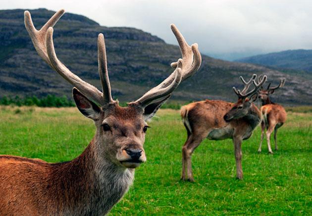 Стадо благородных оленей чаще всего возглавляет самка