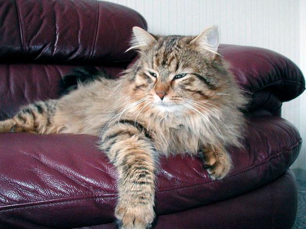 Мочекаменная болезнь типичная болезнь не только мейн кунов, но и других пород кошек