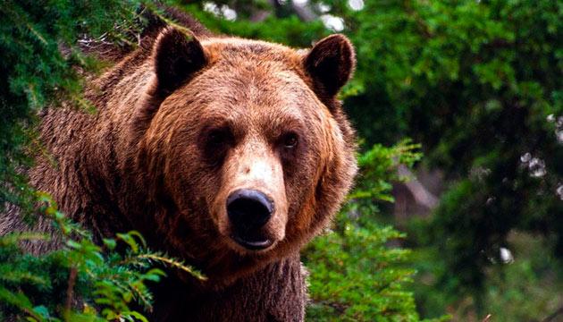 Естественные враги северного оленя — бурые медведи