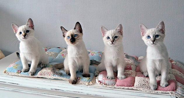 Котята тайской кошки в среднем стоит 500-700 долларов