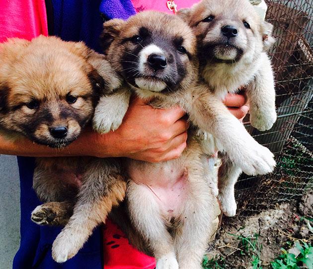 Цена щенка кавказкой овчарки зависит от её класса